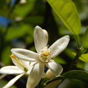 Néroli / Fleur d'oranger